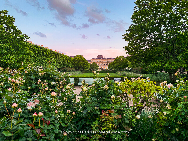 Roses almost ready to burst into bloom in Jardin du Palais Royal