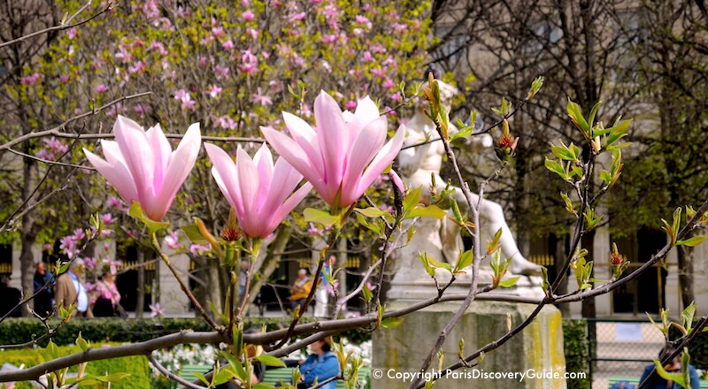 Magnolias blooming in Jardin du Palais Royal during early April