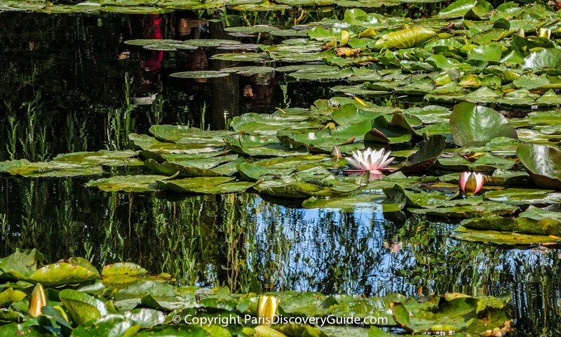 Water lilies blooming in Monet's Japanese garden pond at Giverny