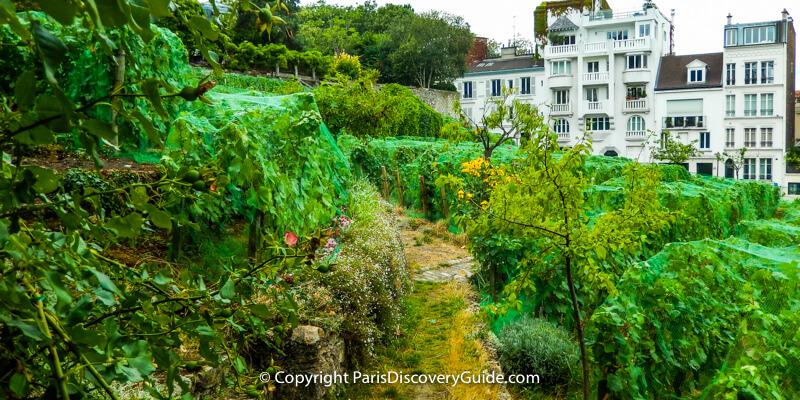 Montmartre's vineyard
