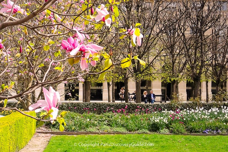 Magnolias and spring bulbs blooming in Palais Royal Garden in Paris in early April